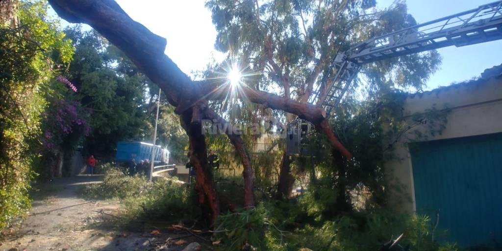 Vigili del fuoco in azione per rimuovere il pino crollato ospedaletti