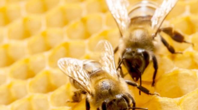riviera24 - ape insetto api