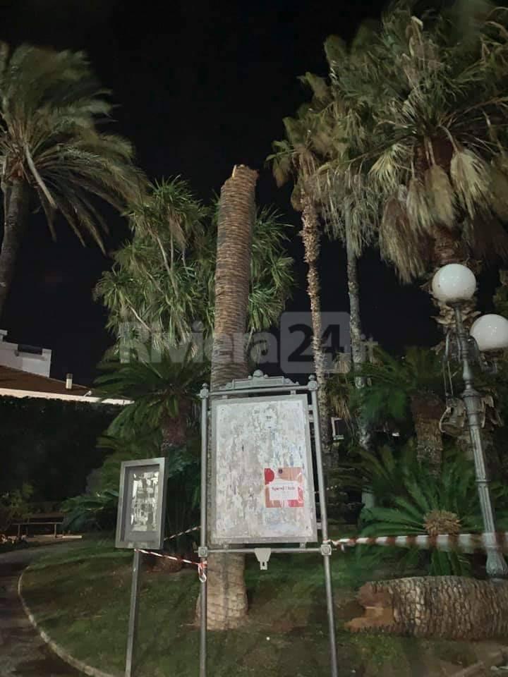 palma crollata Bordighera