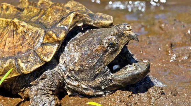 riviera24 - tartaruga alligatore