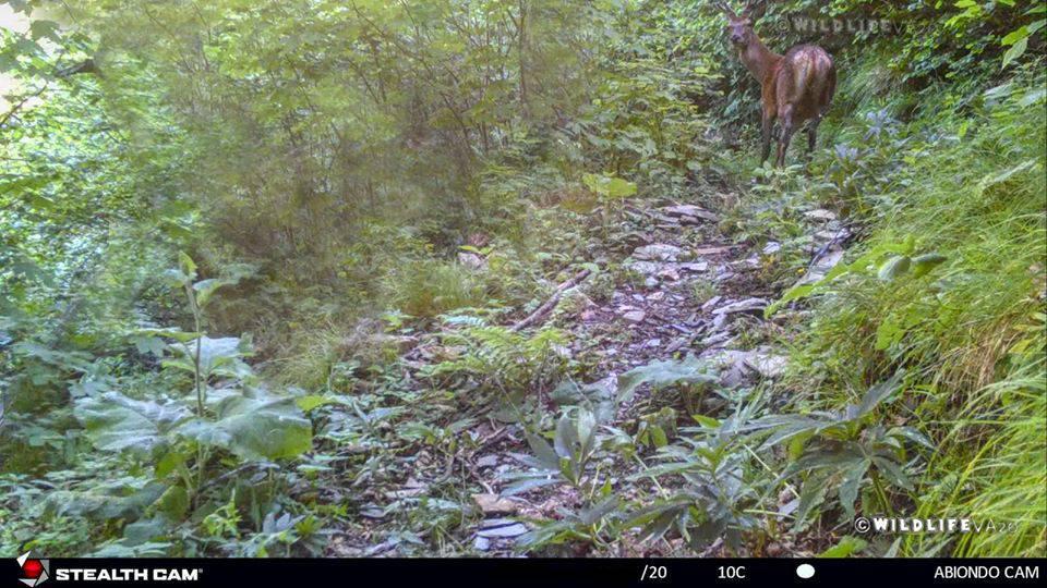 riviera24 - cervo nobile in valle argentina