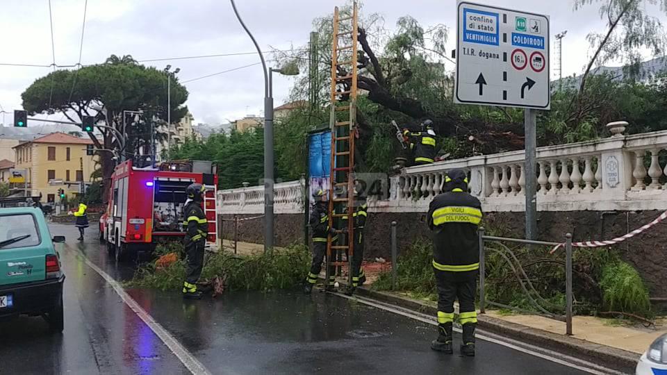riviera24 - Sanremo, albero si abbatte su corso Matuzia