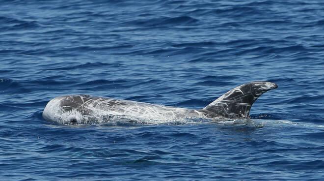 Riviera24- delfini Santuario Pelagos