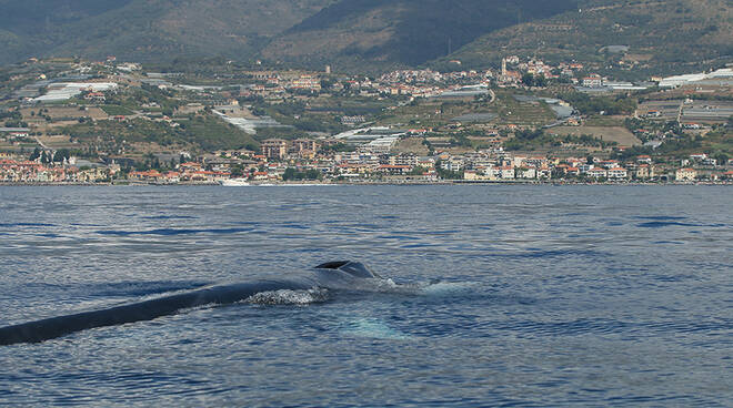 Riviera24- balena ferita