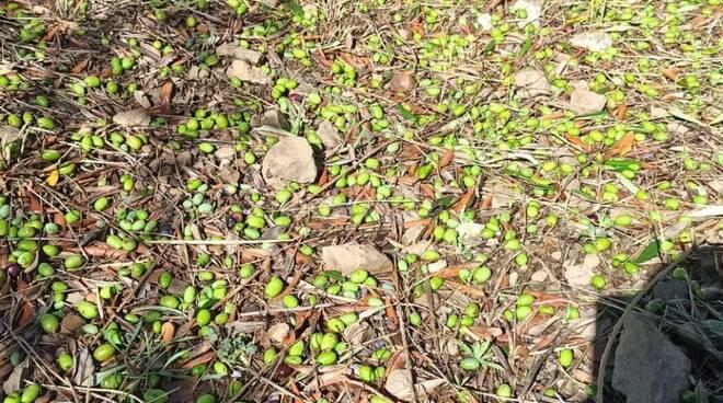 danni olivicoltura maltempo olive