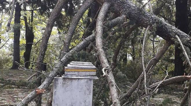riviera24 - Albero caduto Colle di Nava