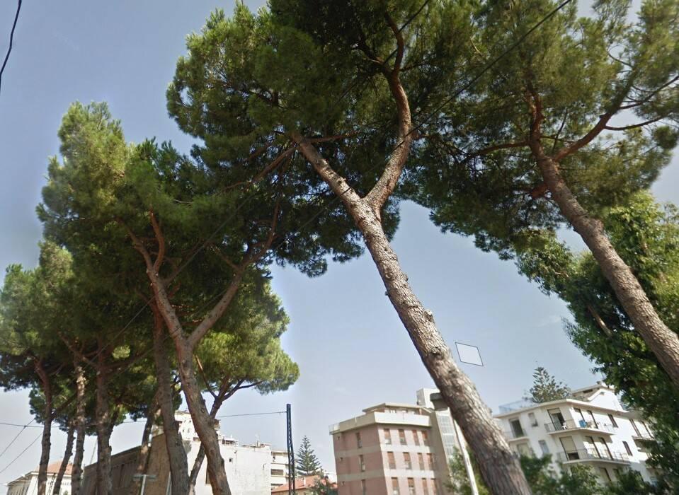 riviera24 pini via blengino alberi arma taggia