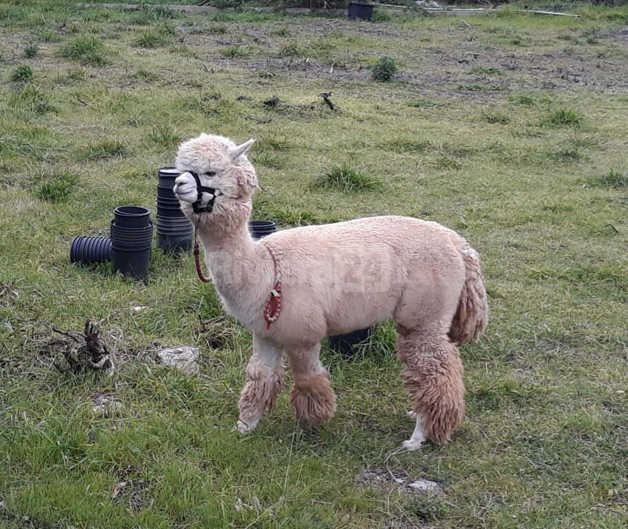 Alpaca a Bordighera