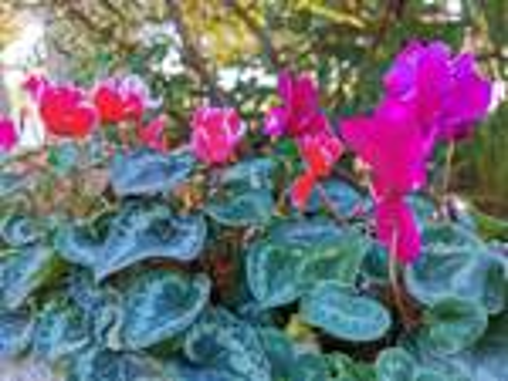 fiori ciclamini