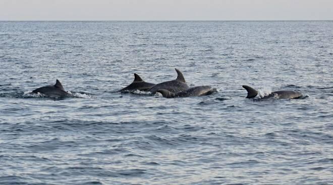 riviera24 - delfini cetacei tursiopi