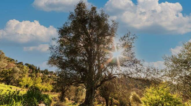 riviera24 - olivo ulivo seborga