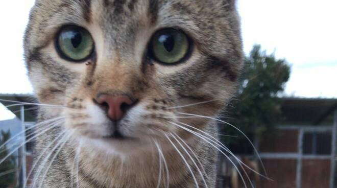 Spillo gatto
