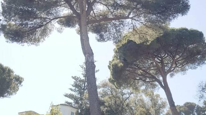 riviera24 - alberi pericolanti a Imperia